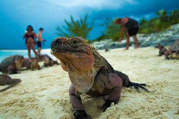 Echsen auf den Bahamas am Sandstrand