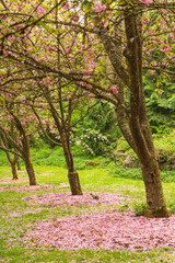 Row of blooming sakura blossom trees with fallen pink flowers and squirrel in spring