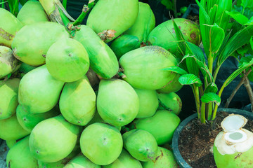 Green young coconuts fruit group in sunlight are laying near coconut sprout or coconut plant in a pot and opened young coconut