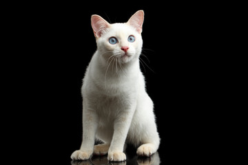 Curious Cat of Breed Mekong Bobtail without tail, Sits and watch, Isolated Black Background, Color-point White Fur, Front view