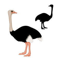 adult ostrich vector illustration