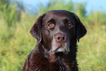 Beautiful chocolate Labrador, close-up