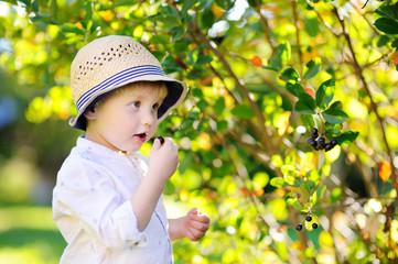 Cute toddler boy picking black currants in garden