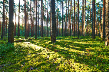 Keuken foto achterwand Bos in mist Sunrise in pine forest