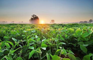 Foto auf AluDibond Kultur Soybean field at sunrise