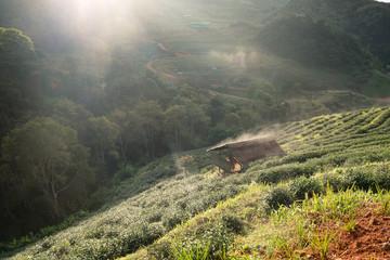 Tea plantation pavillion thatch fog beautiful morning at chiang mai, thailand
