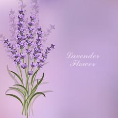 Beautiful lavender flowers on violet background.