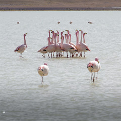 Wall Mural - Flamingos on lake in Andes, the southern part of Bolivia