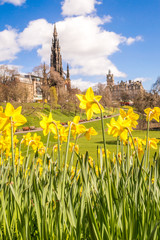 Edinburgh, Scotland. Yellow daffodils in the Princess Street gardens, with Scott monument
