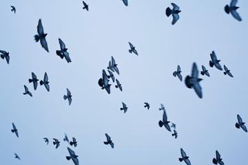 Flying pigeons against blue sky