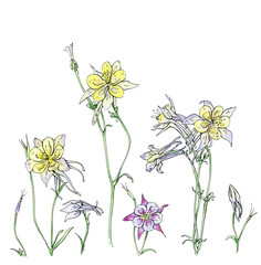 hand drawn watercolor flower Aquilegia on white background
