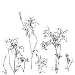 hand drawn graphic flower Aquilegia columbine on white backgroun