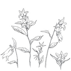 hand drawn set of graphic flowers Campanula bellflower on white