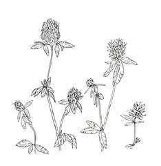 hand drawn set of graphic flowers clover trefoil on white backgr