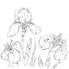 hand drawn graphic flower iris on white background