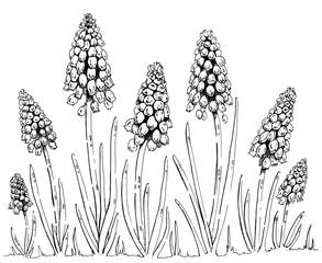 hand drawn graphic flower Muscari on white background