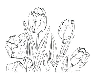 hand drawn graphic flower tulips on white background