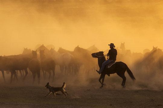 Western cowboys riding horses, roping wild horses..