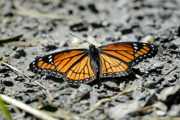 Viceroy Butterfly resting on a dirt path