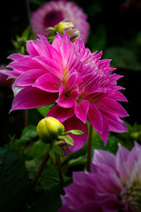 Vibrant Dahlia Flowers in Bloom