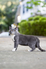The gray shorthair cat