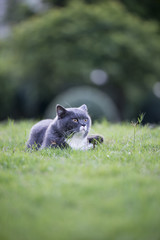 The gray cat in the grass