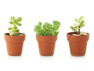 succulent plants in small pots, white background