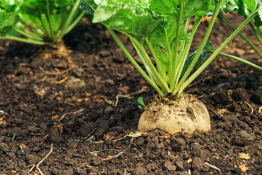 Sugar beet root in ground
