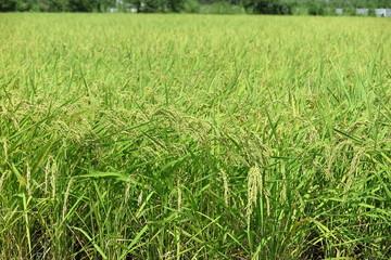 稲作の風景14