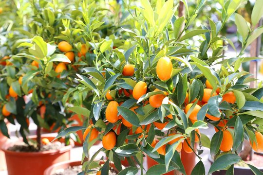 several hanging kumquats on the  fruit tree