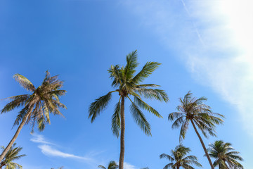 coconut palm tree group with blue sky background, as summer them