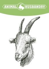 sketch of goat head drawn by hand. livestock. animal grazing