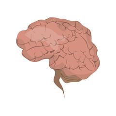 Isolated realistic human brain on white background. Symbol of intellegence and idea.