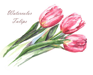 Hand-drawn watercolor illustration of the pink tulip flowers isolated on the white background. Spring blossom, bouquet of the tender romantic flowers