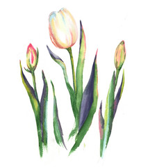 Hand-drawn watercolor illustration of the white tulip flowers isolated on the white background. Spring blossom, flowers and buds.