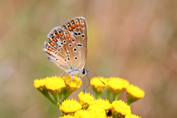 Polyommatus bellargus, Adonis Blue, is a butterfly in the family Lycaenidae. Beautiful butterfly sitting on stem.