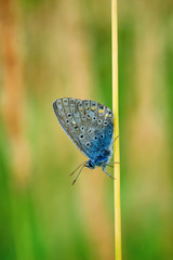 Plebejus idas, Idas Blue, is a butterfly in the family Lycaenidae. Beautiful butterfly sitting on flower.