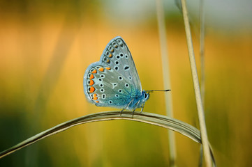 Polyommatus Icarus, Common Blue, is a butterfly in the family Lycaenidae. Beautiful butterfly sitting on flower.