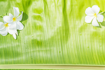 Plumeria White,Placed on green banana leaf