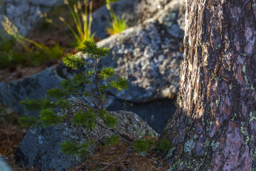 young northern fur-tree in the rocks