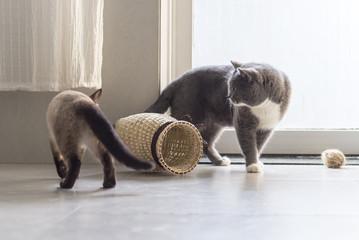 Siamese cat and shorthair cat