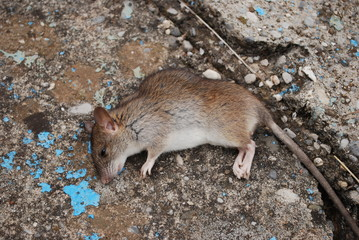 Wounded brown rat on a paved road.