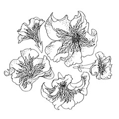 Petunia. Floral vector pattern. Black and white graphics, hand-drawing. A stylized image of the flowers.