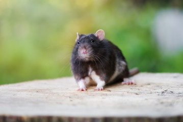 black pet rat portrait outdoors