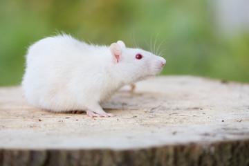 adorable pet rat posing outdoors