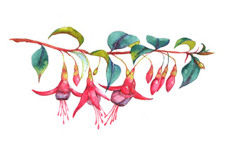 Hand-drawn watercolor floral illustration of the colorful vibrant pink fuchsia branch. Tropical exotic flowers blossom isolated on the white background. Isolated drawing