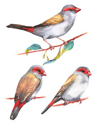 Hand-drawn watercolor illustration - three the red-browed finches on the branch. Wild colorful bird drawing. Nature isolated illustration
