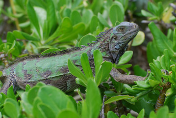 Green Iguana Climbing Through a Bush Top