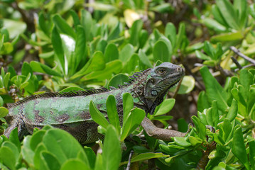 American Iguana in Shrubs