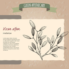 Viscum album aka mistletoe sketch.